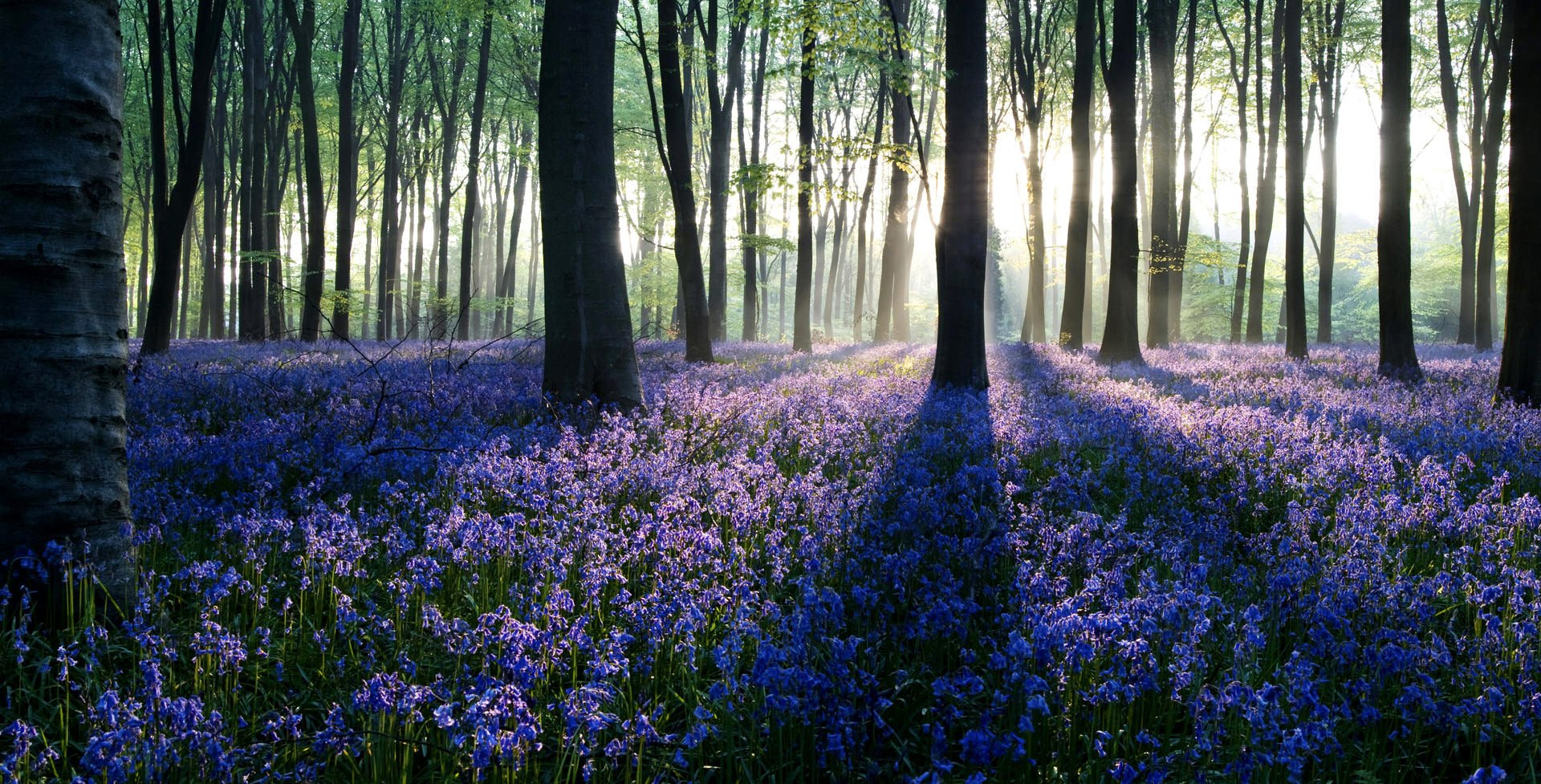 bluebells-wallpaper-18